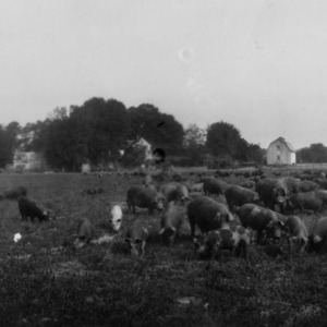 Hogs on pasture at F. P. Latham's Circle Grove Farm