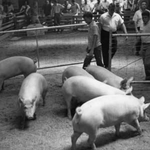 Swine being herded into pen