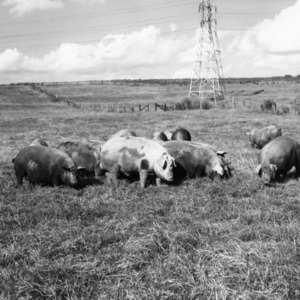 Swine grazing on range