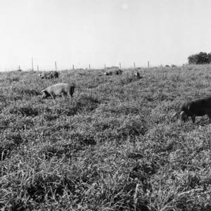 Swine grazing on ladino-grass