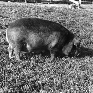 Swine grazing at Animal Husbandry farm