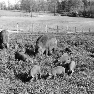 Swine and piglets grazing at Animal Husbandry Farm
