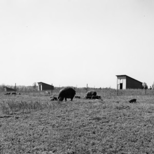 Swine and piglets grazing in field on Field Day