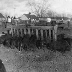 Swine feeding at trough at Kansas State Agricultural College