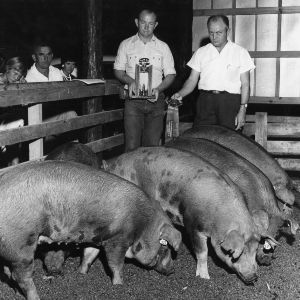 Men holding awards in front of prize-winning swine
