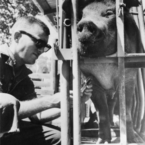 Man injecting crated swine at Veterinary School