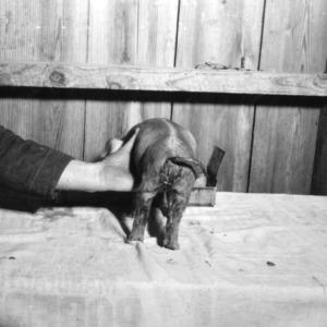 Back of piglet