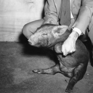 Piglet being held up