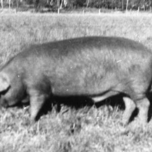 Prized boar