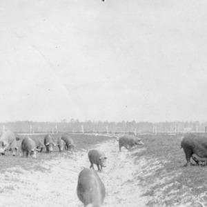 Swine grazing at Circle Grove Farm