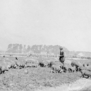 Fred Latham in pasture among his brood sows and early farrowed pigs