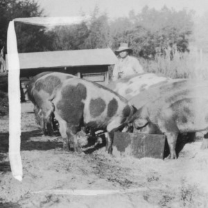 Farmer with large, feeding pigs