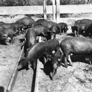 Pure-bred Duroc piglets in pen