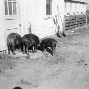 Three pigs from feeding experiment