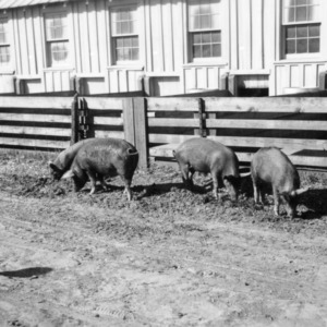 Pigs in yard