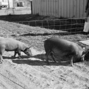 Two pigs from feeding experiment