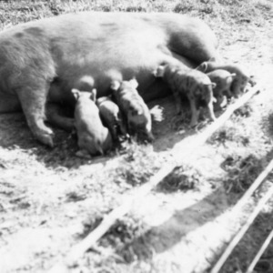 Piglets suckling from sow