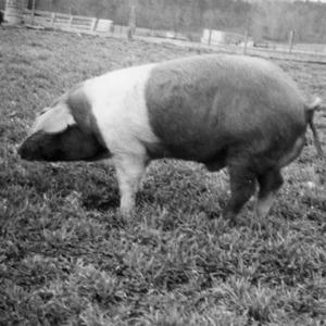 Belted Red boar