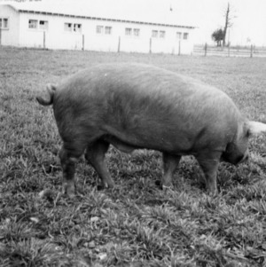 Red line boar
