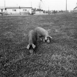 Swine grazing in yard