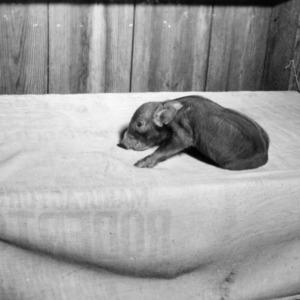 Piglet runt on table