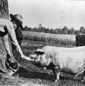Boy feeding pig corn