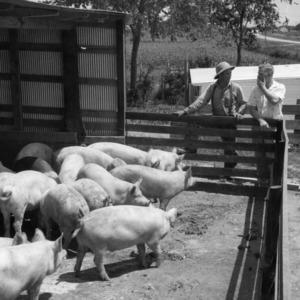 Two men observing pigs in pen