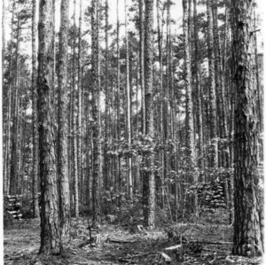Crown studies of Shortleaf Pines by the College of Forest Resources
