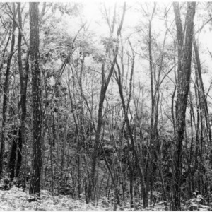Black locust forest reclaims eroded land