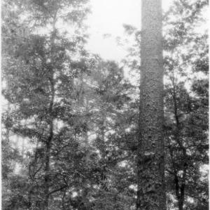 Large Longleaf Tree