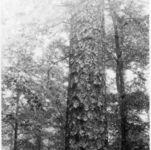 Large Loblolly Pine Tree