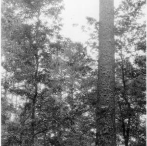 Large Longleaf Pine Tree