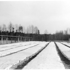 Canvas-covered seed beds of longleaf pine - State Forest Nursery, Clayton