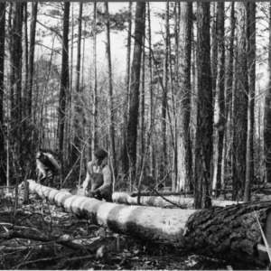 A sixty-five foot piling cut from a 45-year old loblolly pine, Hertford County, N.C.