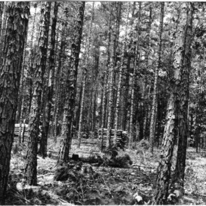 Timber thinning demonstration in 30-year old shortleaf pine, farm of Jesse Allen, Union County, N.C.