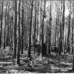 Forest thinning demonstration in loblolly pine