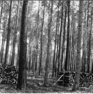 Timber Stand Improvement demonstration in loblolly pines, farm of J.R. Mintz, Shallote, Brunswick County, N.C