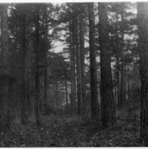 Shortleaf pine near Snow Camp