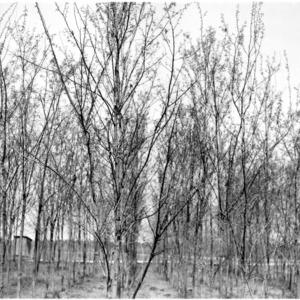 Black locust trees on the farm of S. H. Crocker