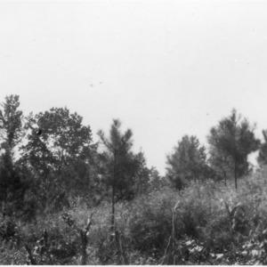 Loblolly pine trees