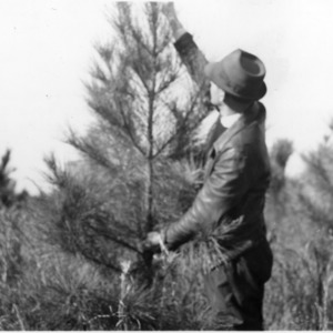 Extension agent A. J. Harrell measuring loblolly pine growth