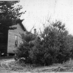 White pines planted as windbreak
