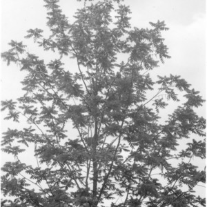 Black walnut tree