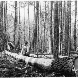 Loblolly pine piling