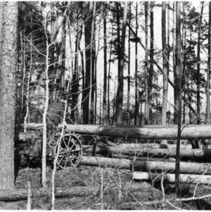 Loblolly pine pilings
