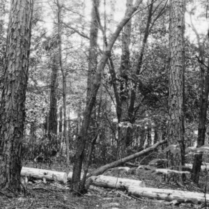 Pulpwood from timber thinning demonstration