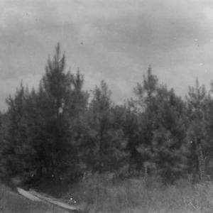 Reforestation of pines