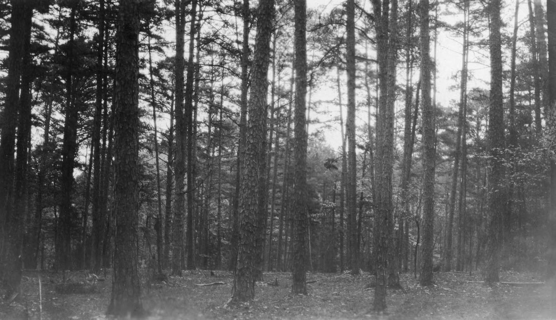 Shortleaf Pine Seedlings Shortleaf Pine Trees