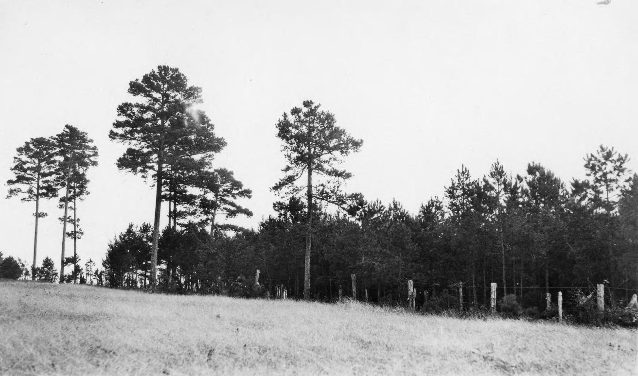 Shortleaf Pine Leaf Shortleaf Pine Trees