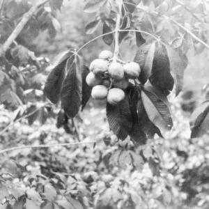 Buckeye clusters